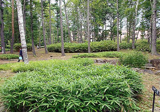 120種類の笹が集められた笹類植物園