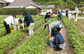 葉の収穫を手伝う大学生